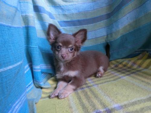 チワワ(ロング)の子犬(ID:1250311106)の3枚目の写真/更新日:2019-08-05