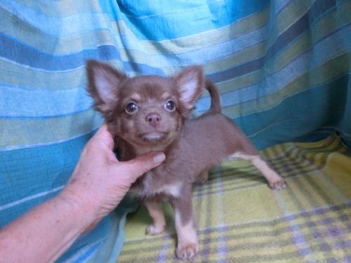 チワワ(ロング)の子犬(ID:1250311106)の4枚目の写真/更新日:2017-11-16
