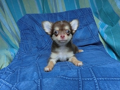 チワワ(ロング)の子犬(ID:1250311107)の1枚目の写真/更新日:2017-11-16