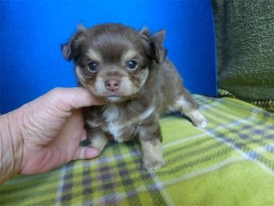 チワワ(スムース)の子犬(ID:1250311108)の1枚目の写真/更新日:2017-11-16