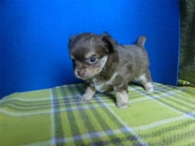 チワワ(ロング)の子犬(ID:1250311108)の3枚目の写真/更新日:2021-07-25