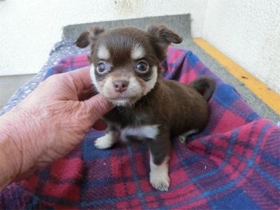 チワワ(ロング)の子犬(ID:1250311109)の1枚目の写真/更新日:2017-11-16