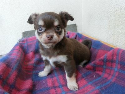 チワワ(ロング)の子犬(ID:1250311109)の2枚目の写真/更新日:2017-11-16