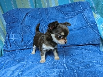 チワワ(スムース)の子犬(ID:1250311110)の1枚目の写真/更新日:2017-11-16