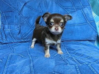 チワワ(スムース)の子犬(ID:1250311110)の2枚目の写真/更新日:2017-11-16