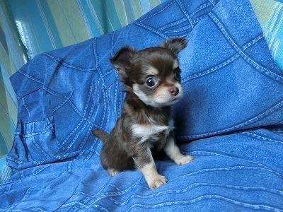 チワワ(スムース)の子犬(ID:1250311110)の3枚目の写真/更新日:2017-11-16