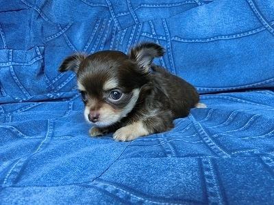 チワワ(スムース)の子犬(ID:1250311110)の4枚目の写真/更新日:2017-11-16