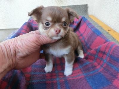 チワワ(スムース)の子犬(ID:1250311111)の1枚目の写真/更新日:2017-11-20