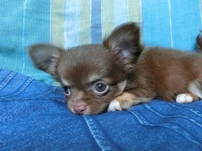 チワワ(ロング)の子犬(ID:1250311112)の1枚目の写真/更新日:2017-11-27