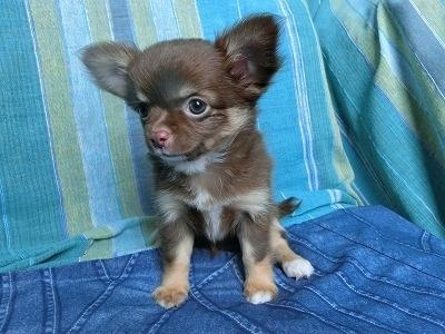 チワワ(ロング)の子犬(ID:1250311112)の2枚目の写真/更新日:2017-11-27