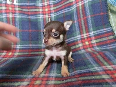 チワワ(スムース)の子犬(ID:1250311113)の1枚目の写真/更新日:2017-11-27