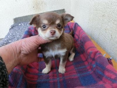 チワワ(ロング)の子犬(ID:1250311115)の1枚目の写真/更新日:2019-10-11