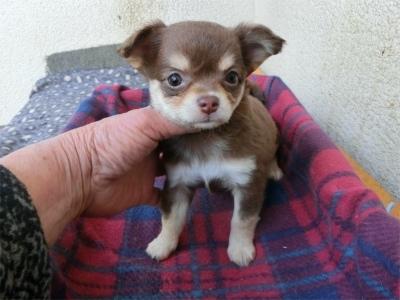 チワワ(ロング)の子犬(ID:1250311115)の2枚目の写真/更新日:2017-11-27