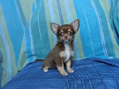 チワワ(ロング)の子犬(ID:1250311116)の3枚目の写真/更新日:2018-01-17