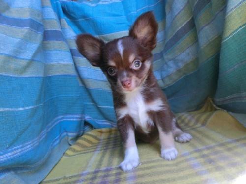 チワワ(スムース)の子犬(ID:1250311117)の2枚目の写真/更新日:2018-01-17