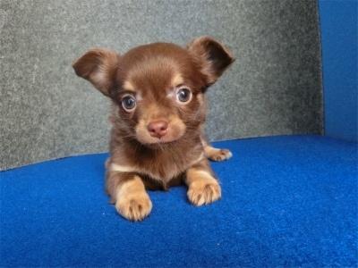 チワワ(ロング)の子犬(ID:1250311118)の2枚目の写真/更新日:2018-02-18