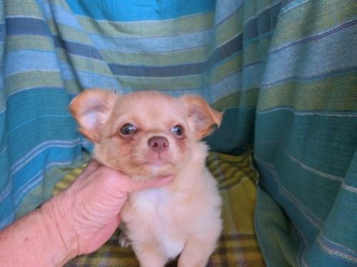 チワワ(ロング)の子犬(ID:1250311119)の1枚目の写真/更新日:2021-10-11