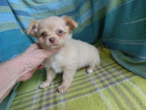 チワワ(ロング)の子犬(ID:1250311119)の2枚目の写真/更新日:2021-10-11