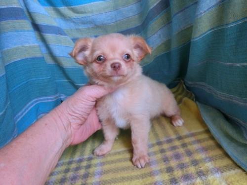 チワワ(ロング)の子犬(ID:1250311119)の3枚目の写真/更新日:2021-10-11