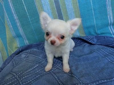 チワワ(ロング)の子犬(ID:1250311121)の1枚目の写真/更新日:2019-12-12