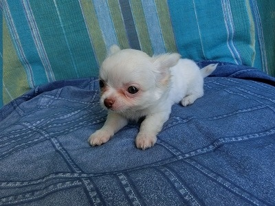 チワワ(ロング)の子犬(ID:1250311121)の2枚目の写真/更新日:2019-12-12