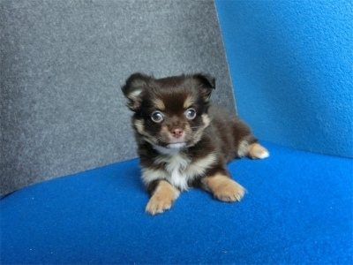 チワワ(スムース)の子犬(ID:1250311122)の1枚目の写真/更新日:2018-04-30