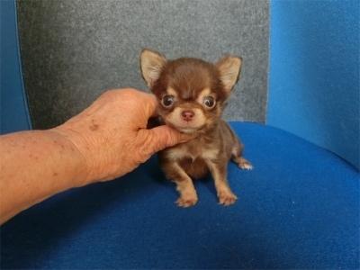 チワワ(スムース)の子犬(ID:1250311123)の1枚目の写真/更新日:2018-04-30