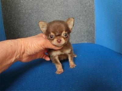 チワワ(スムース)の子犬(ID:1250311123)の2枚目の写真/更新日:2018-04-30