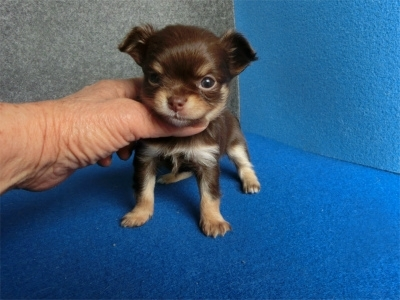 チワワ(ロング)の子犬(ID:1250311124)の1枚目の写真/更新日:2018-04-30