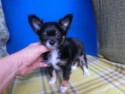 チワワ(ロング)の子犬(ID:1250311125)の1枚目の写真/更新日:2020-01-24