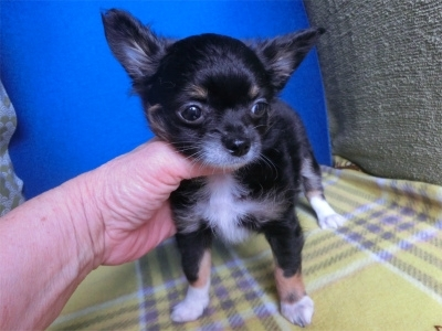 チワワ(ロング)の子犬(ID:1250311125)の2枚目の写真/更新日:2018-04-30