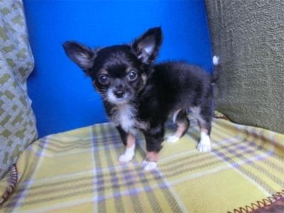 チワワ(ロング)の子犬(ID:1250311125)の4枚目の写真/更新日:2021-08-02