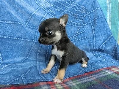 チワワ(スムース)の子犬(ID:1250311126)の1枚目の写真/更新日:2018-05-15