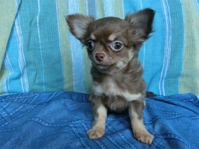 チワワ(スムース)の子犬(ID:1250311127)の1枚目の写真/更新日:2018-05-15