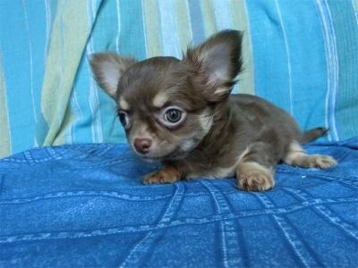 チワワ(スムース)の子犬(ID:1250311127)の2枚目の写真/更新日:2018-05-15