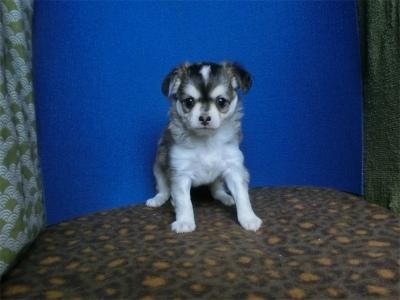 チワワ(スムース)の子犬(ID:1250311128)の2枚目の写真/更新日:2018-05-15
