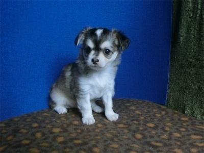 チワワ(ロング)の子犬(ID:1250311128)の3枚目の写真/更新日:2021-06-22
