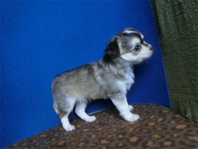チワワ(ロング)の子犬(ID:1250311128)の4枚目の写真/更新日:2021-06-22