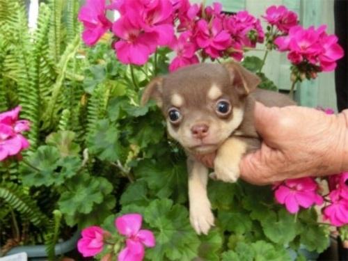 チワワ(スムース)の子犬(ID:1250311129)の1枚目の写真/更新日:2018-05-15