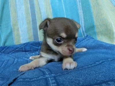 チワワ(スムース)の子犬(ID:1250311129)の3枚目の写真/更新日:2018-05-15