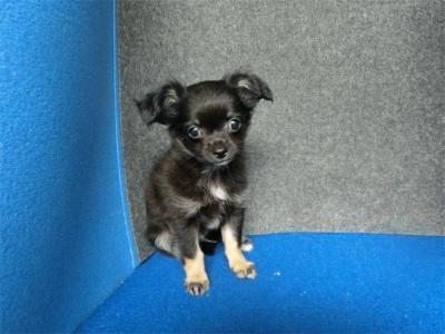 チワワ(ロング)の子犬(ID:1250311130)の1枚目の写真/更新日:2018-05-15