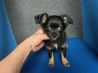 チワワ(ロング)の子犬(ID:1250311130)の2枚目の写真/更新日:2018-05-15