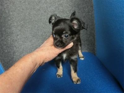 チワワ(ロング)の子犬(ID:1250311130)の3枚目の写真/更新日:2018-05-15