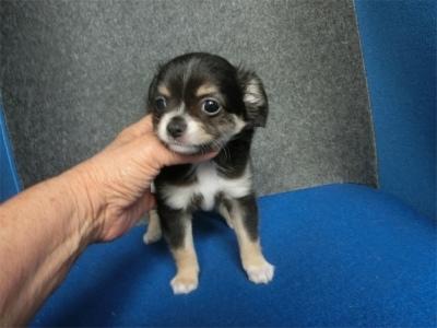 チワワ(ロング)の子犬(ID:1250311132)の1枚目の写真/更新日:2018-05-15