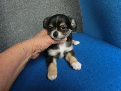 チワワ(ロング)の子犬(ID:1250311132)の2枚目の写真/更新日:2018-05-15