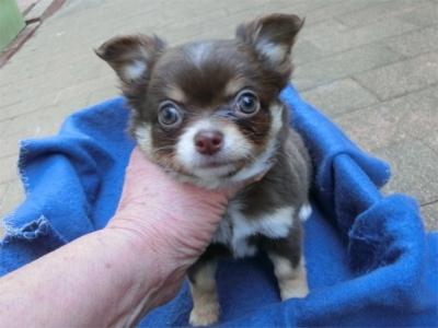 チワワ(ロング)の子犬(ID:1250311133)の1枚目の写真/更新日:2018-05-15