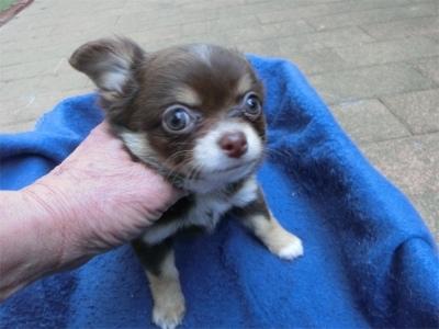 チワワ(ロング)の子犬(ID:1250311133)の2枚目の写真/更新日:2018-05-15