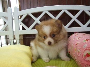 ポメラニアンの子犬(ID:1250511024)の1枚目の写真/更新日:2017-03-14