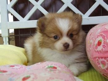 ポメラニアンの子犬(ID:1250511024)の2枚目の写真/更新日:2017-03-14