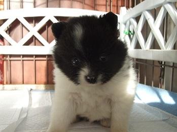 ポメラニアンの子犬(ID:1250511026)の1枚目の写真/更新日:2018-01-18